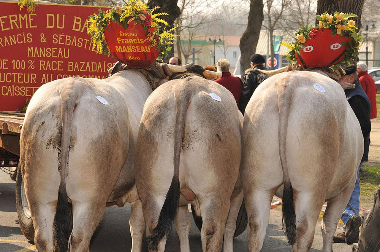 Bœufs de Bazas